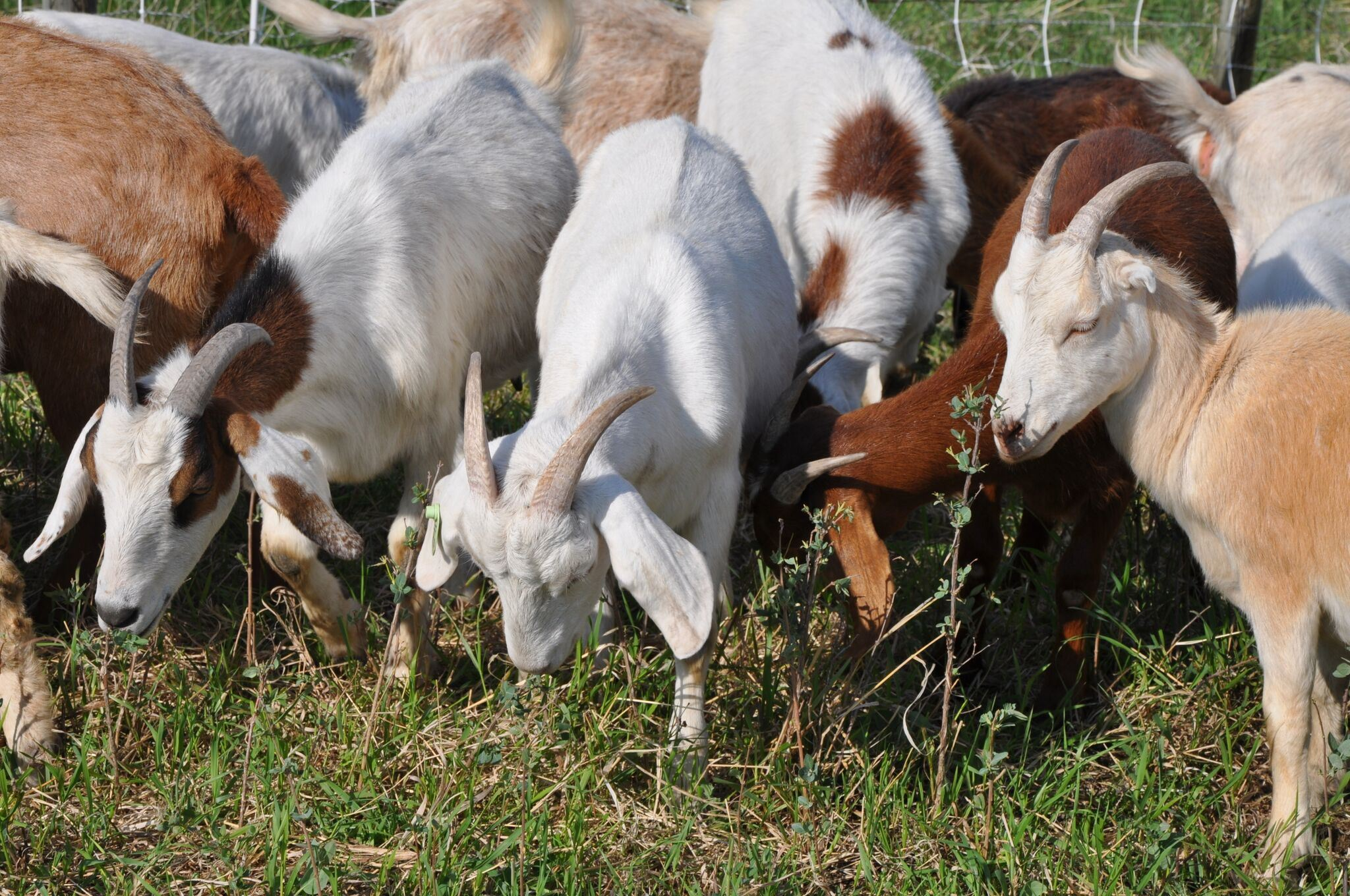 Goats coming to Chestermere